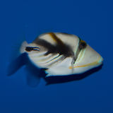 Triggerfish de Humu Humu Photographie stock libre de droits