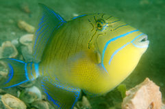 Triggerfish de la Reine Photos stock