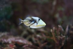 Triggerfish de lagune Photographie stock libre de droits
