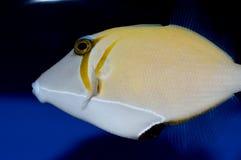 Triggerfish de Lei Photographie stock