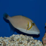 Triggerfish de Lei Photo stock