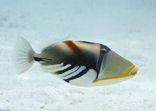 Triggerfish de Picasso Image stock