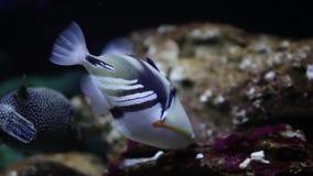 Triggerfish de Picasso almacen de video