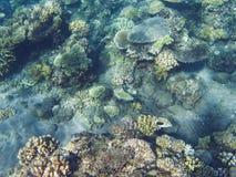 Triggerfish de Picasso en récif coralien Photo sous-marine d'habitants tropicaux de bord de la mer Images stock