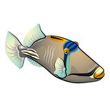 Triggerfish de Picasso Poissons d'isolement sur le fond blanc Photographie stock