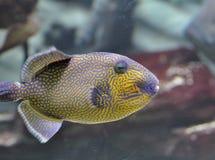 Triggerfish de reina Foto de archivo libre de regalías