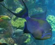 Triggerfish de reine Images libres de droits