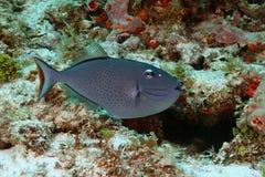 Triggerfish de Sargassum - Cozumel foto de stock royalty free