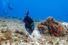 Triggerfish de Sargassum, ringens de los xanthichthys, nadando en cierre del arrecife de coral para arriba Fotografía de archivo