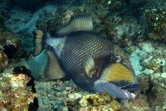 Triggerfish de titan, île de Perhentian, Terengganu Photo libre de droits