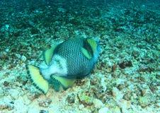 triggerfish de titan pris par jackfish de l'Egypte de ruelle Photo libre de droits