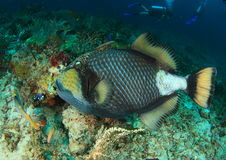 triggerfish de titan pris par jackfish de l'Egypte de ruelle Photos libres de droits