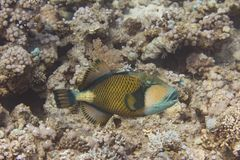 Triggerfish de titan sur le récif coralien photos libres de droits