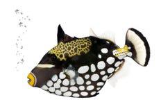 Triggerfish del pagliaccio, Balistoides Conspicillum Immagine Stock