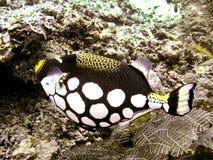 Triggerfish del payaso Fotografía de archivo
