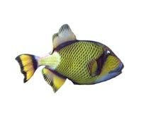 Triggerfish del titano su un bianco fotografia stock libera da diritti