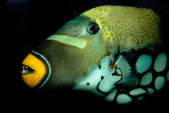 Triggerfish Royalty Free Stock Images