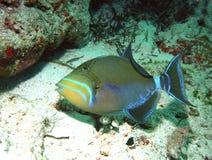 Triggerfish di regina Fotografia Stock