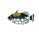 Triggerfish Stock Images