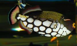 Triggerfish do palhaço Fotos de Stock Royalty Free