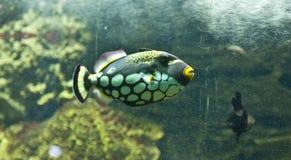 Triggerfish do palhaço (conspicillum do Balistes) Fotografia de Stock