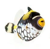 Triggerfish do palhaço, peixe do recife, isolado nos vagabundos brancos Fotografia de Stock
