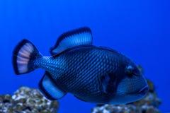 Triggerfish do titã dos peixes Imagens de Stock