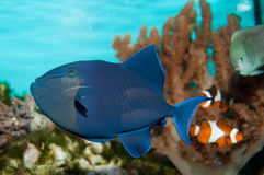 Triggerfish du Niger Images stock