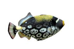 triggerfish för balistoidesclownconspicillum Arkivbilder