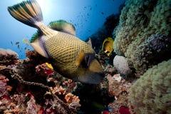 triggerfish för havsunjätte Royaltyfri Bild