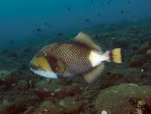 Triggerfish för korallfiskjätte Royaltyfria Bilder