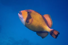 triggerfish géant vert en mer bleue Photos libres de droits