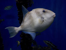 Triggerfish grey Stock Photos