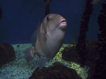 Triggerfish grey Stock Images