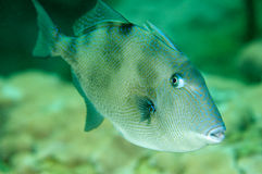 Triggerfish gris Photographie stock