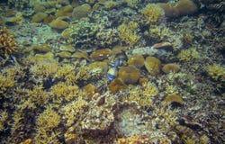 Triggerfish i koraller Undervattens- foto för korallrev Tropisk fisk i natur Tropisk kust som snorklar eller dyker arkivfoto