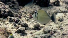 Triggerfish jednorożec ryba podwodna je koral na dnie morskim w Maldives zbiory wideo