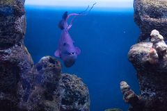Triggerfish Krasnopolye or Queen black trigger, Red-notched Red Fang trigger exotic handsome fish with strong teeth raskrytaya. Funny exotic colorful fish in the stock images