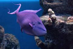 Triggerfish Krasnopolye or Queen black trigger, Red-notched Red Fang trigger exotic handsome fish with strong teeth raskrytaya royalty free stock photo
