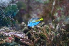 Triggerfish negro imagen de archivo libre de regalías
