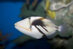 triggerfish picasso Стоковое Изображение RF