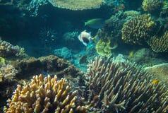 Triggerfish Picasso en récif coralien Photo sous-marine d'habitants tropicaux de bord de la mer Photo stock