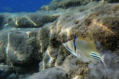 Triggerfish - Picasso on the reef Stock Photo