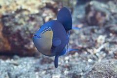 triggerfish redtooth Стоковое Изображение RF