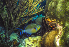 Triggerfish. On reef bottom, among corals in the Caribbean Sea,  shot in Venezuela Stock Image