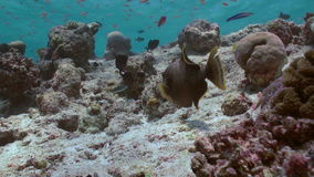 Triggerfish on reef in ocean sea in search of food stock video