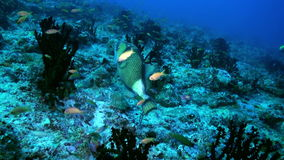 Triggerfish on reef in ocean sea in search of food. Is a tropical marine fish belonging to the family Tetraodontidae. Close up stock footage