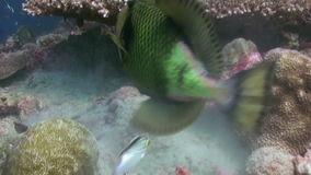 Triggerfish on reef in ocean sea in search of food stock video footage