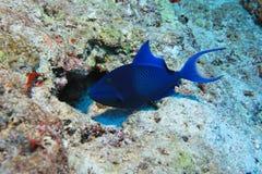 triggerfish Rojo-dentado fotografía de archivo libre de regalías