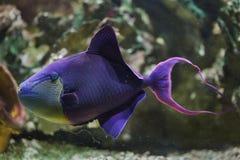 triggerfish Rojo-dentado Odonus Niger foto de archivo libre de regalías